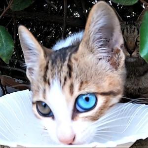 母猫にシーバ(Sheba)を給餌したらオッドアイのかわいい子猫が現れた 野良猫 感動猫動画 #猫動画 #猫 #ねこ