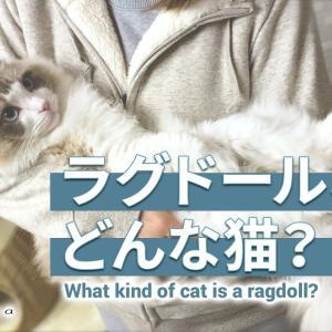 ラグドールってどんな猫?|ラグドールのレア #猫動画 #猫 #ねこ #猫好きさんと繋がりたい #癒やし