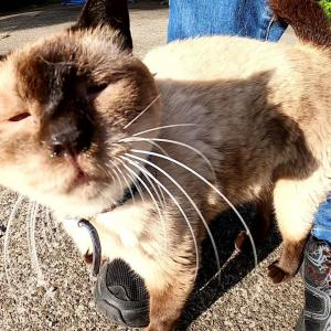 【猫駅長?】可愛いスカーフを巻いたシャム猫が激しいスリスリで甘えてきた #猫動画 #猫 #ねこ #猫好きさんと繋がりたい #癒やし