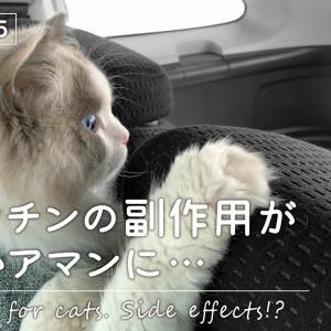 猫ワクチンで翌日異変が!副作用で即病院へ|ラグドール猫【vlog #15】 #猫動画 #猫 #ねこ #猫好きさんと繋がりたい #癒やし