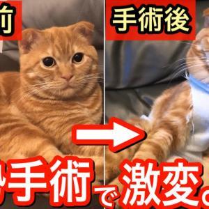 去勢手術をした保護猫の性格が激変⁉︎【スコティッシュフォールド】 #猫動画 #猫 #ねこ #猫好きさんと繋がりたい #癒やし