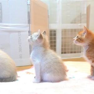 【生後33日】ミルクの順番待ちをする子猫たちがかわいい【保護子猫】kittens waiting for milk #猫動画 #猫 #ねこ #猫好きさんと繋がりたい #癒やし
