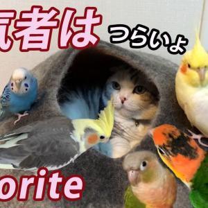 猫に群がるインコ団 Parakeets flock to cat.【マンチカン】【セキセイインコ】【オカメインコ】【ウロコインコ】【シロハラインコ】 #猫動画 #猫 #ねこ #猫好きさんと繋がりたい #癒やし