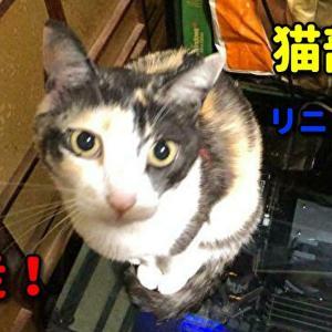 ガリガリだった三毛猫の家猫修行24日目 外に逃走しました #猫動画 #猫 #ねこ #猫好きさんと繋がりたい #癒やし
