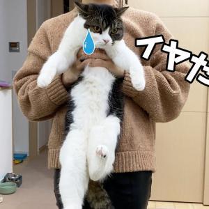逃亡かなわず連行されちゃう猫がこちらです…笑 #猫動画 #猫 #ねこ #猫好きさんと繋がりたい #癒やし