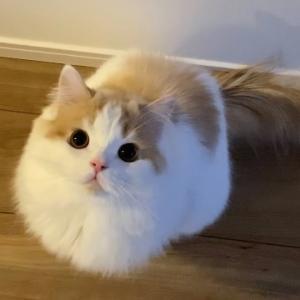 早朝からおはようの挨拶をしてくれるもふ猫が甘えん坊で可愛い! #猫動画 #猫 #ねこ #猫好きさんと繋がりたい #癒やし