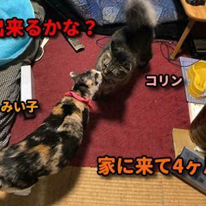 ガリガリ状態で家に来た三毛猫と雌猫達との対面編 1 #猫動画 #猫 #ねこ #猫好きさんと繋がりたい #癒やし