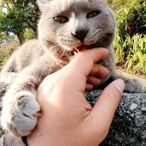 ロシアンブルーみたいな灰色猫をモフると手を舐めてくれた #猫動画 #猫 #ねこ #猫好きさんと繋がりたい #癒やし
