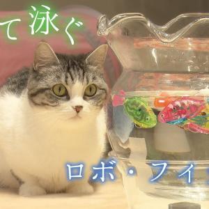 猫と泳ぐ魚ロボ【スコティッシュフォールド】 #猫動画 #猫 #ねこ #猫好きさんと繋がりたい #癒やし
