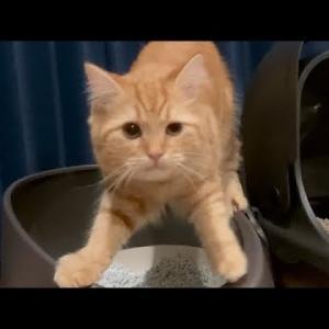 「どうしてそうなった⁉︎笑」家猫がトイレの後の猫砂の使い方を間違ってる件 #shorts #猫動画 #猫 #ねこ #猫好きさんと繋がりたい #癒やし