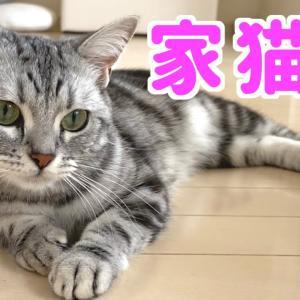 小柄なかわいい猫。アメショのアビーとの暮らしが楽しい。 #猫動画 #猫 #ねこ #猫好きさんと繋がりたい #癒やし