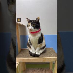置物みたいな三毛猫 #猫動画 #猫 #ねこ #猫好きさんと繋がりたい #癒やし