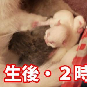 猫の赤ちゃんの鳴き声に超ビビる先住猫に笑!母性本能に目覚める子猫のママ! #猫動画 #猫 #ねこ #猫好きさんと繋がりたい #癒やし