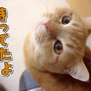 可愛い顔した当たり屋の怪獣にご注意ください!【おかえりプリン】 #猫動画 #猫 #ねこ #猫好きさんと繋がりたい #癒やし