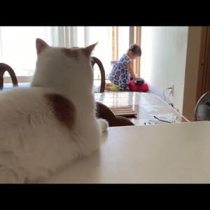 娘から相手にされなくなった実家猫 スコティッシュ A cat that wasn't dealt with by my daughter #猫動画 #猫 #ねこ #猫好きさんと繋がりたい #癒やし