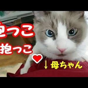 """猫の手も借りたい時に限って""""ネコ""""!! コハク君ハウル君 Ragdoll Cat Kohaku&Howl #猫動画 #猫 #ねこ #猫好きさんと繋がりたい #癒やし"""