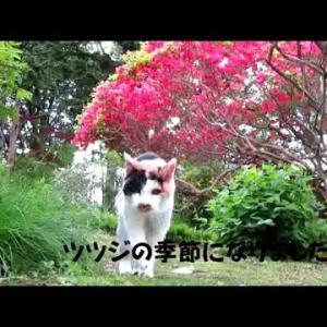 三毛猫ざわちゃん、満開ツツジの庭散歩 #猫動画 #猫 #ねこ #猫好きさんと繋がりたい #癒やし