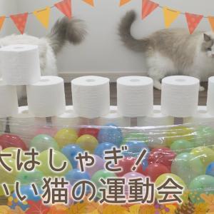ラグドール猫の運動会|5種競技で兄弟猫が対決|#41 #猫動画 #猫 #ねこ #猫好きさんと繋がりたい #癒やし