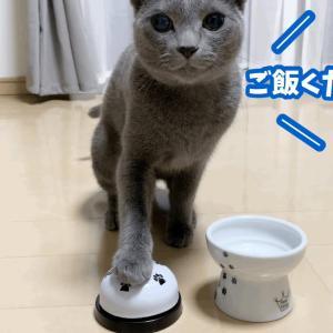 ベル(呼び鈴)を鳴らす猫が可愛すぎる…!【ロシアンブルー】 #猫動画 #猫 #ねこ #猫好きさんと繋がりたい #癒やし