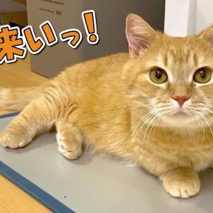 ダッシュするけどなぜか急ブレーキをかける短足マンチカンのおしりが可愛いw #猫動画 #猫 #ねこ #猫好きさんと繋がりたい #癒やし