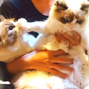 猫の抜け毛!ラグドール(長毛猫)を飼ったらこうなる(´゚×゚`)ありのままをお見せします #猫動画 #猫 #ねこ #猫好きさんと繋がりたい #癒やし