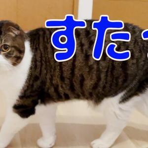 【親子猫】頭隠して尻隠さず笑!!突然の強行大運動会にタジタジ。思わず笑っちゃう滑稽ムービー【スコティッシュフォールド】 #猫動画 #猫 #ねこ #猫好きさんと繋がりたい #癒やし