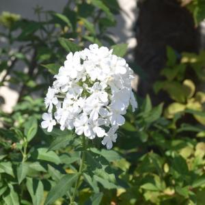 終わりる花あれば咲き始める花あり・ロシアンオリーブの枝祓い