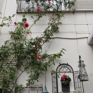 種蒔きと今日のバラ