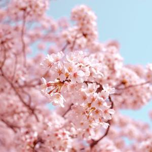 海津大崎までお花見に。ほぼ満開でした!