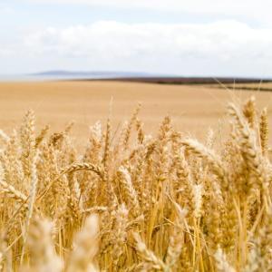 「小麦粉」について知っておこう!(小麦と米、強力粉と薄力粉、国産小麦の現状、特性や違い、分類)パン教室講師が徹底解説!