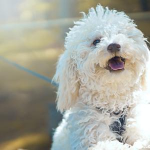 【体験談!】愛犬がアロペシアXという原因不明の脱毛症になってしまったら…