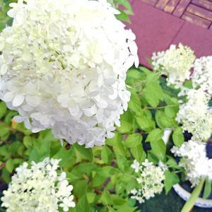 遅咲きの紫陽花 ノリウツギ「ライムライト」を植え替えてみた