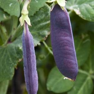 紫サヤエンドウ