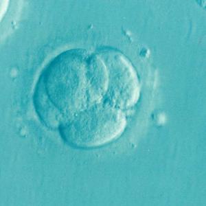 「ヒト胚の取扱いに関する基本的考え方」見直し等に係る報告(案)(第三次)概要