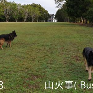 ~Part 8 (山火事); Guard Dog-Sitting in AUS (Bushfire)!!~ 大型ガードドッグのお世話係 / オーストラリア