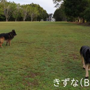 ~Part 11 (きずな); Guard Dog-Sitting in AUS (Bonding)!!~ 大型ガードドッグのお世話係 / オーストラリア
