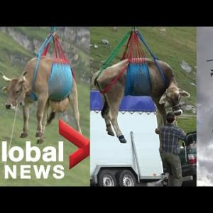 牛をヘリコプターで宙吊りにして輸送 faze