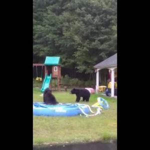 クマの一家が子供用プールに wading pool