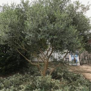 実家のオリーブの木に実がなった!