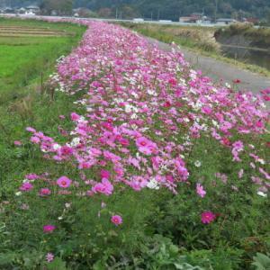 遊休農地や農地法面を活用した景観作物の作付(コスモスの種まき)