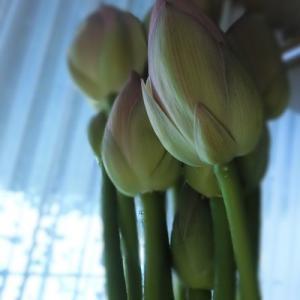 友人から届いた蓮の花を供える。