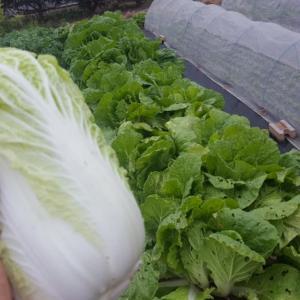 白菜、初物収穫してみた