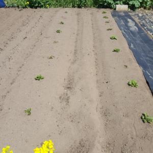 ジャガイモの発芽、新芽が顔を出してくれました。