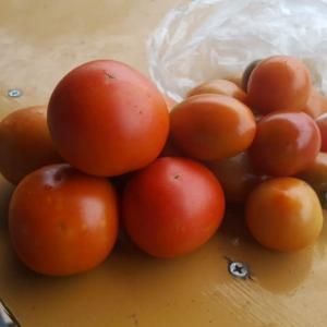 ミニトマト初物