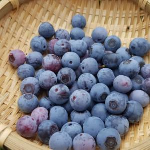 庭のブルーベリー収穫した