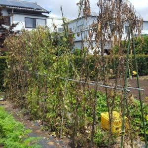 蔓ありインゲンの根を抜きました。秋作用開始です