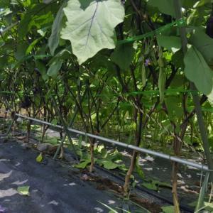 茄子の下葉整理