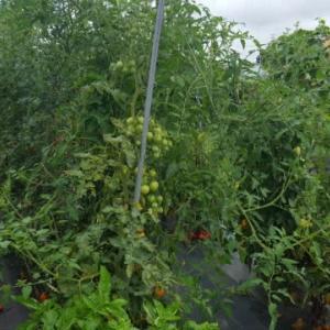 ミニトマトは、ぼうぼうです