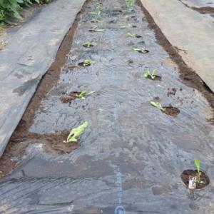 レタス植えて蒔いた