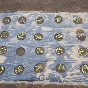 小松菜、発芽
